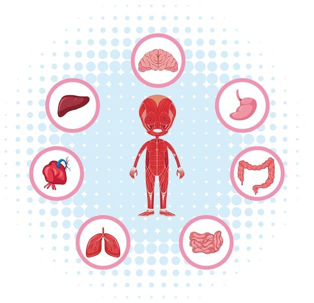 Anatomia humana com diferentes órgãos no poster