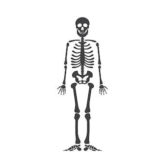 Anatomia humana de esqueleto. esqueleto preto do halloween do vetor isolado no branco