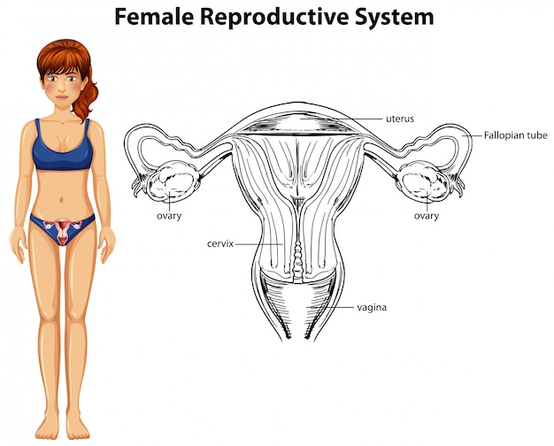 Anatomia humana do sistema reprodutor feminino