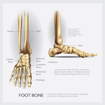 Anatomia humana pé ilustração vetor