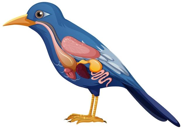 Anatomia interna de ave com órgãos