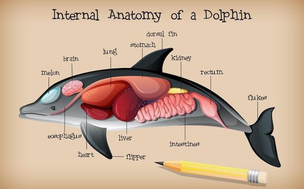 Anatomia interna de um golfinho