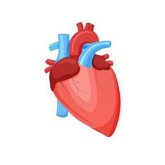Anatomia saudável do coração humano.