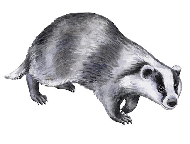 Animal de texugo isolado no fundo branco ilustração em aquarela modelo imagem desenho à mão