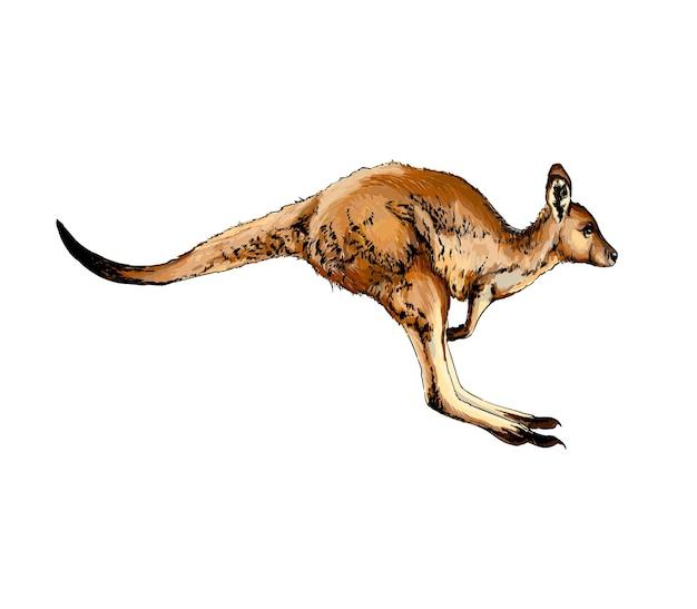Aquarela canguru em branco