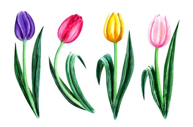 Aquarela com flores da primavera colorida, tulipas isoladas no branco