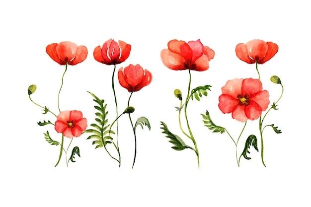 Aquarela conjunto de papoulas, ilustração de mão desenhada de flores silvestres vermelhas isoladas.