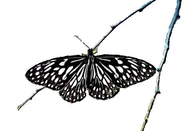 Aquarela de borboleta em preto e branco