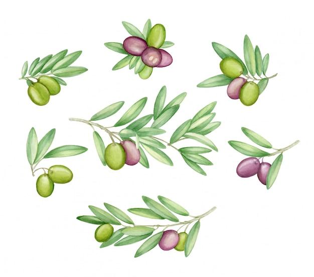 Aquarela de ramos de oliveira