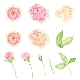 Aquarela linda rosa inglesa com elementos isolados