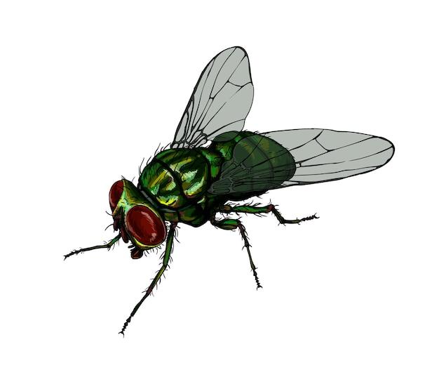 Aquarela mosca doméstica em branco