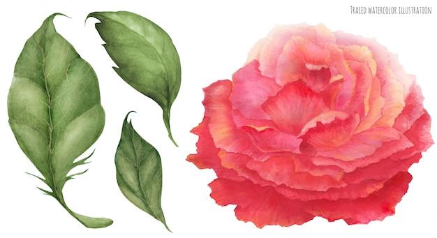 Aquarela rosa rosa asiática