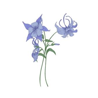 Aquilegia ou flores de capô da avó em branco.