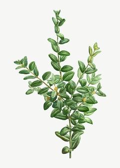 Arbusto de buxo