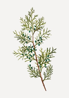 Arbusto de zimbro da virgínia