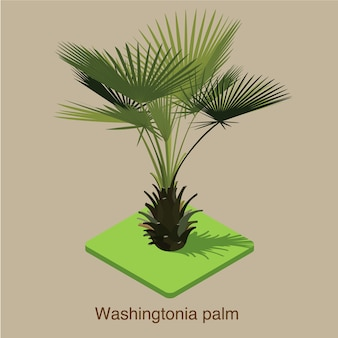 Arte isométrica do vetor 3d da palmeira de washingtonia.