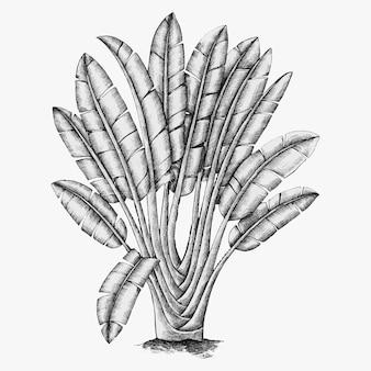 Árvore do viajante desenhada à mão