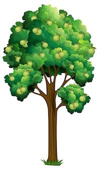 Árvore frutífera de goiaba isolada no branco