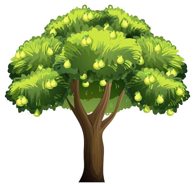 Árvore frutífera de pêra isolada no fundo branco