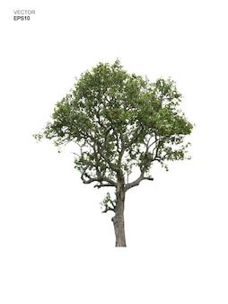 Árvore isolada no fundo branco. parque e uso de ideia de objeto ao ar livre para paisagismo, decoração arquitetônica. ilustração vetorial.