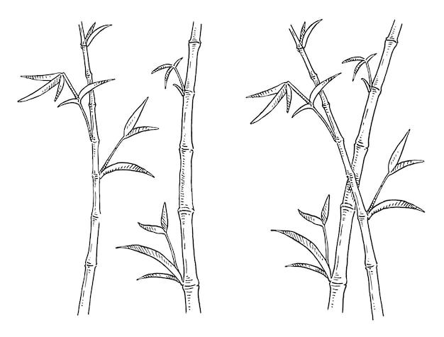 Árvores de bambu com folhas. gravura vintage. isolado no branco