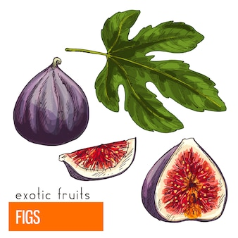 As figs. mão realista de cores desenhadas