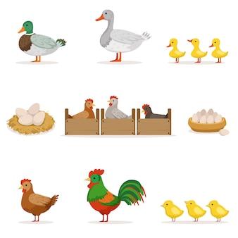 Aves de fazenda cultivadas para carne e por ovos, agricultura biológica série de ilustrações com animais