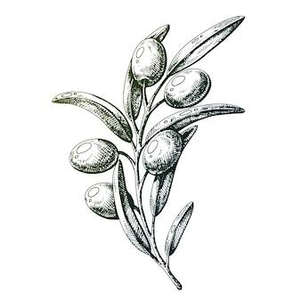 Azeitonas em um galho ilustração em vetor feita com tinta e caneta no papel