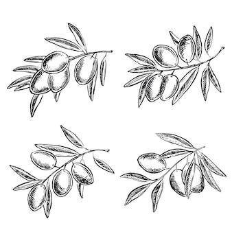 Azeitonas em um galho ilustrações desenhadas à mão