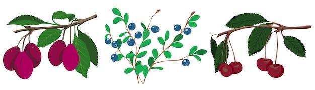 Bagas da floresta e do jardim. cerejas, ameixas e mirtilos.