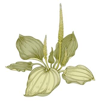 Bananeira de ervas medicinais.