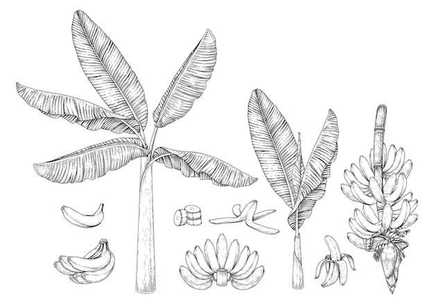 Bananeira fruta e flor ilustração retro desenhada à mão