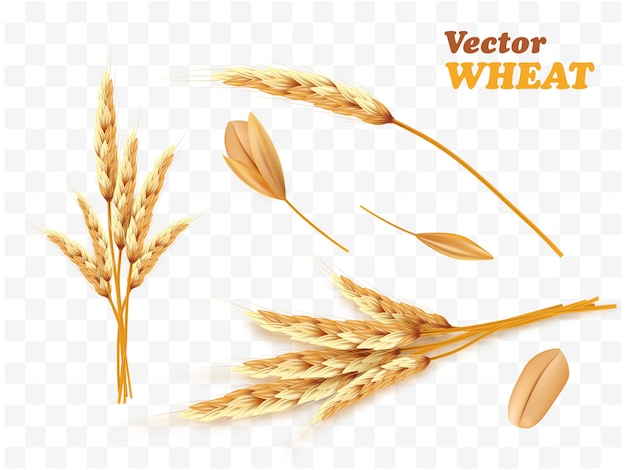 Bando realista de espigas de trigo e sementes isoladas em um branco.