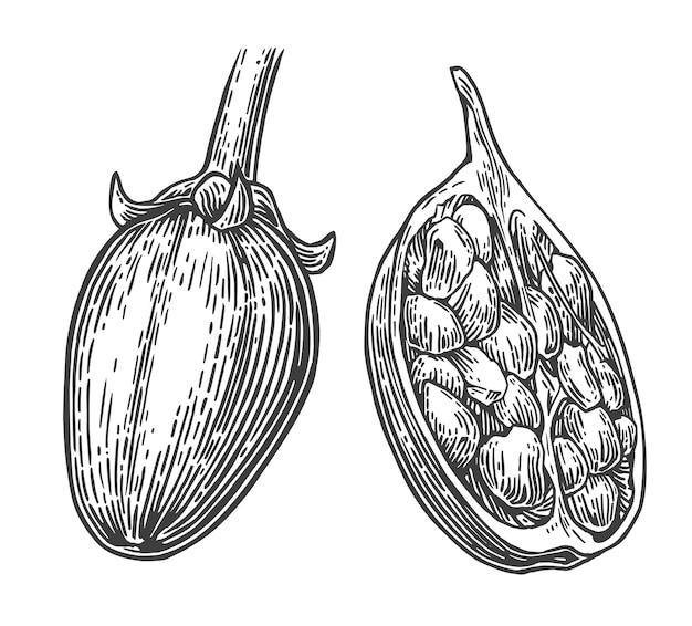 Baobá, frutas e sementes, gravura, ilustração