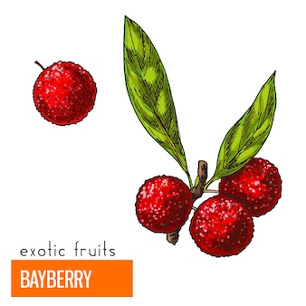 Bayberry. ilustração vetorial de cor