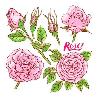 Belo conjunto de rosas cor de rosa. ilustração desenhada à mão
