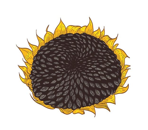 Belo desenho botânico detalhado da parte do girassol