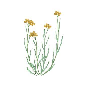 Belo desenho detalhado de flores perenes anãs e folhas isoladas