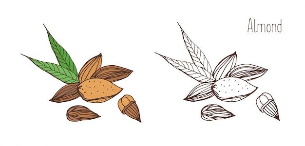 Belos desenhos coloridos e monocromáticos de frutas amêndoas com casca e sem casca com par de folhas.