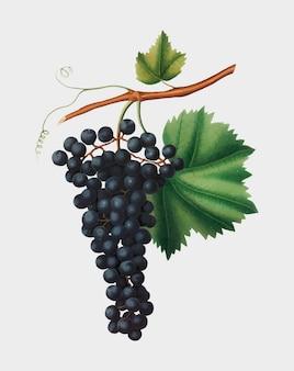 Berzemina grape from pomona italiana illustration