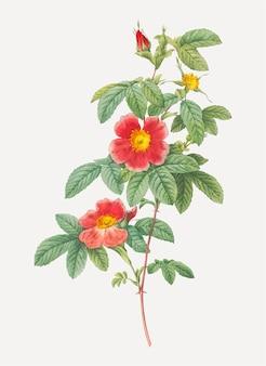Blooming single pode rosa