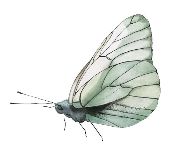 Borboleta branca aquarela