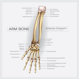 Braço e mão ilustração vetorial de osso