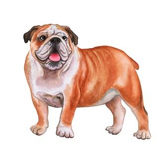 Bulldog inglês. aguarela