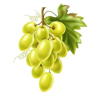 Cacho de uva verde realista com folhas e frutos maduros.