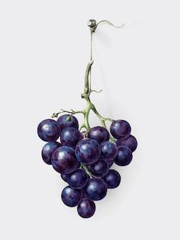 Cacho de uvas azuis por jean bernard (1775-1883).