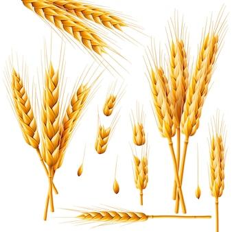 Cacho realista de aveia de trigo ou cevada isolado no fundo branco conjunto de vetores de grãos de espigas de trigo