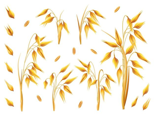 Cacho realista de aveia ou cevada isolado no fundo branco vetor conjunto de grãos de orelhas de aveia de