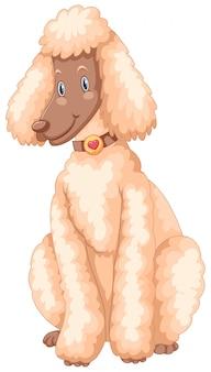 Cachorro poodle com pêlo branco