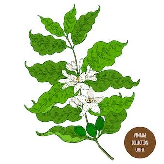 Café. ilustração em vetor botânica vintage mão desenhada isolada. estilo de desenho.